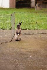 "Toki, ""who me""? (Tjflex2) Tags: boy pets canada cute rabbit bunny bunnies nature girl vancouver mammal furry pretty bc friendship fuzzy conejo small adorable cuddly coelho playful lapin usagi krolik kanin lagomorph toki lepus fenek iepure muyal kelinci ilconiglio coinin sungura leporidea"