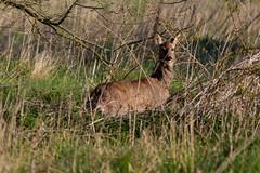 Female Roe (PINNACLE PHOTO LOG) Tags: wild tongue fur countryside spring woking eyes meadow shy british billard roedeer capreoluscapreolus
