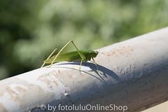 Argentinien_Insekten-84 (fotolulu2012) Tags: tierfoto