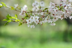 () /Prunus x yedoensis (nobuflickr) Tags: flower nature japan kyoto    thekyotobotanicalgarden prunusxyedoensis tokyocherry  yoshinocherry   20160409dsc06566