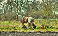 Pferdepflug (williwacker85) Tags: weide wiese pferd acker pflug