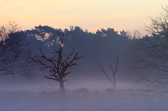 Standing alone (kceuppens) Tags: morning mist tree nature fog nikon belgium belgie outdoor natuur boom antwerp nikkor antwerpen buiten heide kalmthout kalmthoutseheide d7000 nikond7000 nikkor80400afs