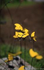 2016_04_10_st_jean_de_beauregar426 (Xavier_Claise) Tags: saint jean bokeh jardin fte horticulture dcoration ouverture plantes 135mm beauregard artisanat 2016 135mmf2 5dmarkiii