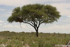 Namibia 7_7148_edited-1 (arx7) Tags: africa camp elephant jackal desert wildlife dunes lion scenic pride ostrich safari leopard fox rhino zebra antelope destination giraffe savannah endangered impala waterhole namibia herd lioness hyena eland oryx etosha springbok solitaire wildebeest dikdik windhoek savanna swakopmund walvisbay anant gamereserve kudu hartebeest herero blackrhinoceros gemsbok skeletoncoast damara tropicofcapricorn weaverbird steenbok bantu namibdesert naukluft etoshapan subsaharan etoshanationalpark namibnaukluft okaukuejo africanwildcat raut anantrautorg anantraut republicofnamibia republiknamibia anantrautcom republiekvannamibie kuneni dolomitehills blackbackedhyena