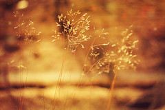 Like on the Sun... (Lollyx34) Tags: light sunlight plant blur nature grass yellow canon spring sweden bokeh straw depthoffield foliage serene straws 5mm
