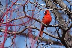 Cardinal Through The Branches (Doundounba) Tags: red bird rouge montral cardinal pentax qubec oiseau k3 jardinbotanique pentaxhdda5530mmf458wr