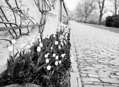 Prague Royal Gardens - Tulips (holtelars) Tags: blackandwhite bw 120 film monochrome rollei analog mediumformat 645 tulips prague pentax praha czechrepublic analogue 6x45 f28 45mm czechia 100iso pentax645 filmphotography rodinalspecial royalgardens classicblackwhite 645n rpx homeprocessing filmforever smcpentaxfa r09spezial rpx100 rolleirpx100 larsholte compardr09spezial