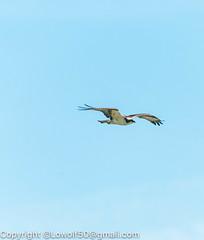 _DSC4787.jpg (orig_lowolf) Tags: usa dog nature oregon nikon flickr osprey lakeoswego turkeyvulture d300s sigma150500mmf563afapodgoshsmtelephotozoom