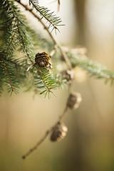 Fir Cones (aveyardphotography) Tags: light england tree nature pine forest woodland focus soft fir shallow needles cones subtle