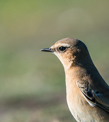 Close up wheatear (ijw20032000) Tags: scilly 2015