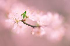 Prunus spinosa - Prunellier sauvage (Mureau A) Tags: pink wild flower macro rose spring nikon 150 tc 105 blackthorn d800 prunus sauvage sloe rosaceae spinosa epinette tc14 tc14ii prunellier mureau prunelier