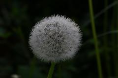 Rugiada atto secondo (Cesare 75) Tags: green nature canon drops rugiada tolmezzo