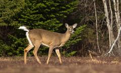 IMG_1037 White Tailed Deer (Wallace River) Tags: novascotia deer weeks