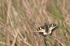 Machaon (Corinne Mnardi) Tags: insecte papilio papilionidae lpidoptre papilioninae rhopalocres papillondejour