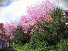 Blhende Bume (ohaoha) Tags: pink deutschland europa europe alemania grn baum gemany frhling stadtmauer niedersachsen lowersaxony osterode japanischekirsche