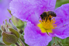 Macro_La Tossa 036 (jomendro) Tags: macro planta animals flor natura plantes macrofotografa abelles latossademontbui