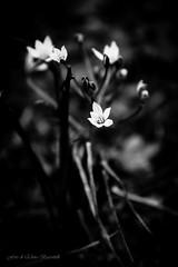 Come luce nel buio (elena.barsottelli) Tags: flowers bw biancoenero contrasto