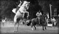 Luciano Rojas em Dom Pedrito (Eduardo Amorim) Tags: brazil horses horse southamerica brasil criollo caballo cheval caballos cavalos pferde cavalli cavallo cavalo gauchos pferd riograndedosul pampa hest hevonen campanha brsil chevaux gaucho  amricadosul fronteira hst gacho  amriquedusud  gachos  sudamrica suramrica amricadelsur  sdamerika crioulo caballoscriollos criollos jineteada   americadelsud gineteada dompedrito  crioulos cavalocrioulo americameridionale caballocriollo eduardoamorim cavaloscrioulos