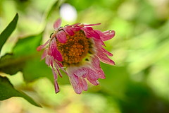 Paquerette (vieubab) Tags: nature rose fleurs plante bokeh vert paquerette flou ptale flouartistique