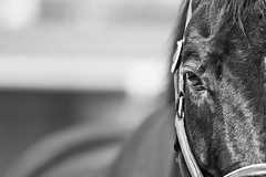 Sguardo stanco (elena.barsottelli) Tags: bw horse black eyes hannover dettagli cavalli blackhorse biancoenero contrasto