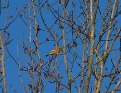 Grnfink NMorgensonne (bratispixl) Tags: nature germany laub oberbayern vogel morgensonne ohne chiemgau laubbaum traunreut grnfink stadtrundweg bratispixl