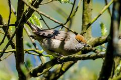 Blackcap (f) (sylvia atricapilla) (phat5toe) Tags: nature birds nikon wildlife feathers avian wigan flashes blackcap greenheart sylviaatricapilla lancashirewildlifetrust d7000 sigma150500