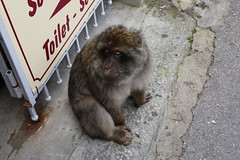Barbary macaque, Rock of Gibraltar (x70tjw) Tags: monkey gibraltar macaque barbarymacaque