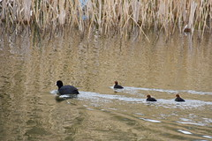 Coot and cootlings (coutlets?) (Roger Bunting) Tags: chick coot worksop chesterfieldcanal