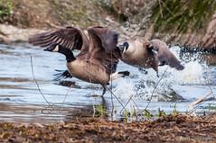 Canada Goose (Branta canadensis) (Bart Ducheyne) Tags: canadagoose brantacanadensis bernacheducanada grotecanadesegans grotecanadesegansbrantacanadensisbernacheducanadacanadagoose grotecanadesegansbrantacanadensisbernacheducanadacanadagoo