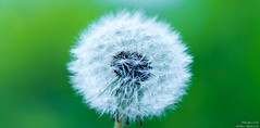 Dandelion (Nature-enthusiast) Tags: plant flower macro texture 50mm furry dof cloudy bokeh outdoor sony dandelion depthoffield serence a6000