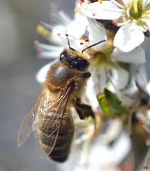 Honey bee on Blackthorn {explored} (conall..) Tags: flower macro blossom bee honey hedge honeybee blackthorn prunus sloe prunusspinosa dcr250 raynox spinosa 300416