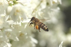 Mid-Flight Bee (Tyrannodactyl) Tags: flower macro animal bug insect fly flying wings sting flight bee honey