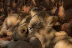 untitled (189 of 392).jpg (Oddshots) Tags: nature animals southafrica krugerpark