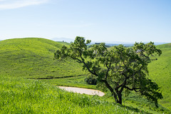 Oak Tree - Rolling Hills Open Space Park - Solano County - California - 26 March 2016 (goatlockerguns) Tags: california park county trees usa mountains west tree nature coast oak open natural space unitedstatesofamerica vacaville hills trail bayarea eastbay solano rolling fairfield vaca