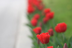 IMG_7784 (Five eyes) Tags: flowers flower holland color nature beauty garden spring dof tulips beds michigan fresh neighborhood beginning tuliptime promise lanes 2016