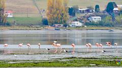 Flamencos en Chilo (Philip Oyarzo) Tags: chile landscape nikon paisaje flemish flamencos chiloe swam d600 humedaldeputemn
