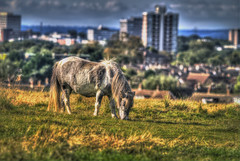 Gypsy Pony (nigdawphotography) Tags: animal mammal town pony harlow common gypsy essex tethered towerblock tether petskyline