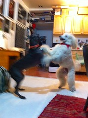 Mambo dance party (VanaTulsi) Tags: dog weimaraner weim blueweimaraner vanatulsi blueweim
