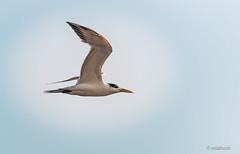 Bird (mlahsah) Tags: sea sky bird beach birds nikon ngc sa jazan السعودية سماء بحر شاطيء البحرالأحمر طائر nikond90 جازان