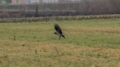 cornacchia grigia (mirkopizzaballa) Tags: nikon volo sole uccello volatile cornacchia campii nikond7200