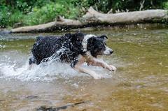 Lara flying (mcvmjr1971) Tags: travel dog beach brasil swim fun 50mm nikon collie play sopaulo border joy run cachorro viagem litoralnorte sosebastio barradouna ruby3 f18d lensnikkor d7000 mmoraes