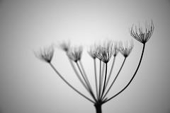 January Suite 2 (Dr John2005) Tags: winter blackandwhite nature scotland negativespace botany caerlaverock dumfriesshire johnperivolaris