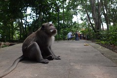 Monkey (Julien Falissard) Tags: world voyage travel bridge bali man tourism nature animal forest temple monkey asia tour lion du pont around asie monde parc fort homme feuille singe status varan touriste 2015 indonsie