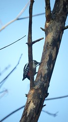 Great spotted woodpecker (Abysswatch) Tags: wood wild sky tree bird nature animal forest woodpecker great spotted