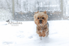 Hooray there is snow in the forecast! (BHawk Photography) Tags: winter dog snow yorkie happy indiana chip yorkshireterrier bhawkinsphotography