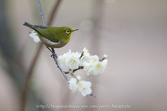 _IMG_EOS 1D X2174 (pechi-fieldtrip) Tags: nature birds japan