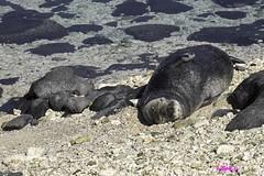 KaenaPoint011316-6856 (lsjacobs) Tags: hawaii us unitedstates kaena monkseal waialua solemates