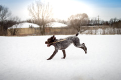 Pointer (DogAdore) Tags: park winter dog pet pets cold ice dogs outside play pointer hound birddog wirehaired dogpark pointing griffon gundog huntingdog