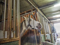 P1290079 (gill4kleuren - 11 ml views) Tags: horses dentist haflinger tandarts 2015 hengst