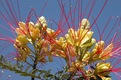 wild yellow bird of paradise (caesalpinia gilliesii) 4288 x 2848 (Charlotte Clarke Geier) Tags: wallpapers screensavers